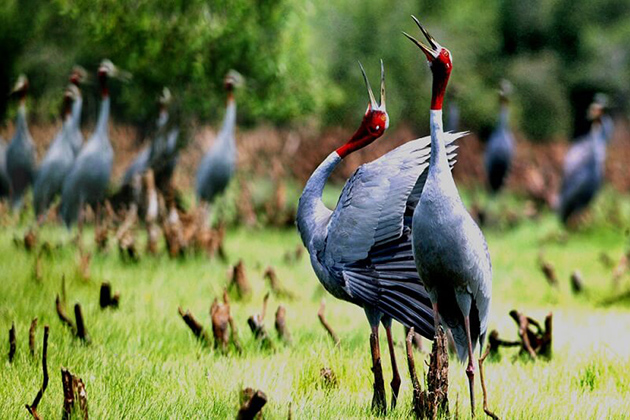 Sarus-cranes-in-U-Minh-National-Park