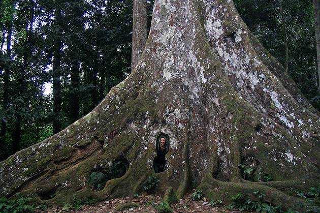 cuc-phuong-national-park-giant-tree