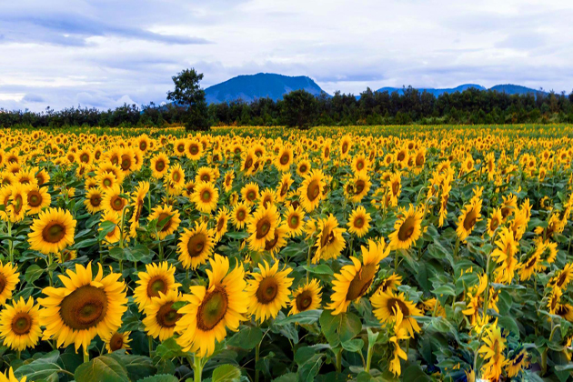 sunflower-in-nghe-an