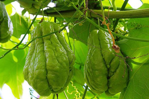 special chayote in Tam Dao, cozy vietnam travel